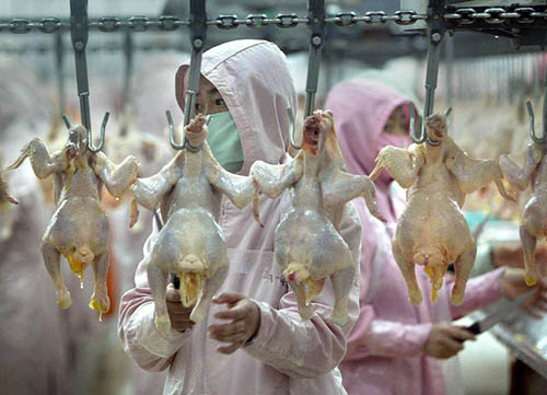Workers inspect chickens in assembly line fashion, 11 January 2003, at a chicken factory in Harbin, northeast China.  As the world's fifth-largest exporter of chickens, China shipped 42,000 tonnes abroad in 2003 and though the nearest bird flu case 01 February 2004 is hundreds of miles away down south, the Asian epidemic is a very real threat for workers in the chicken industry who risk layoffs if there's a large decline in the home market following confirmation of an outbreak at a duck farm in southern Guangxi Province on 27 January.   AFP PHOTO/Frederic J. BROWN
